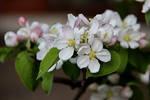 Apple-tree blossoms