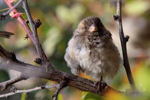 Sparrow by Tatyana-Sanina