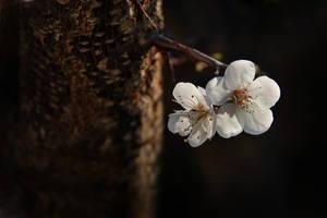 Apricot flowers by Tatyana-Sanina
