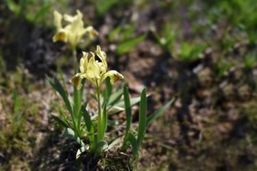 Iris pumila 3 by Tatyana-Sanina
