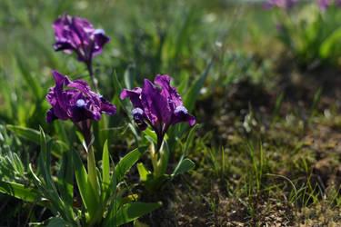 Iris pumila 4 by Tatyana-Sanina