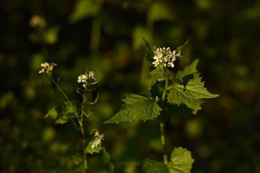 Alliaria petiolata by Tatyana-Sanina