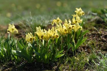 Iris pumila 2 by Tatyana-Sanina