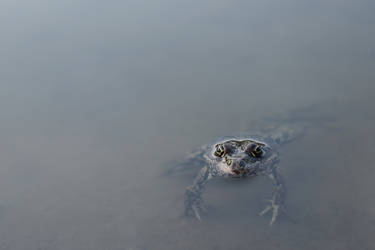 Lake frog (Pelophylax ridibundus) 2 by Tatyana-Sanina