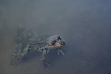 Lake frog (Pelophylax ridibundus) by Tatyana-Sanina