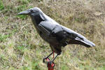 Big Black Crow