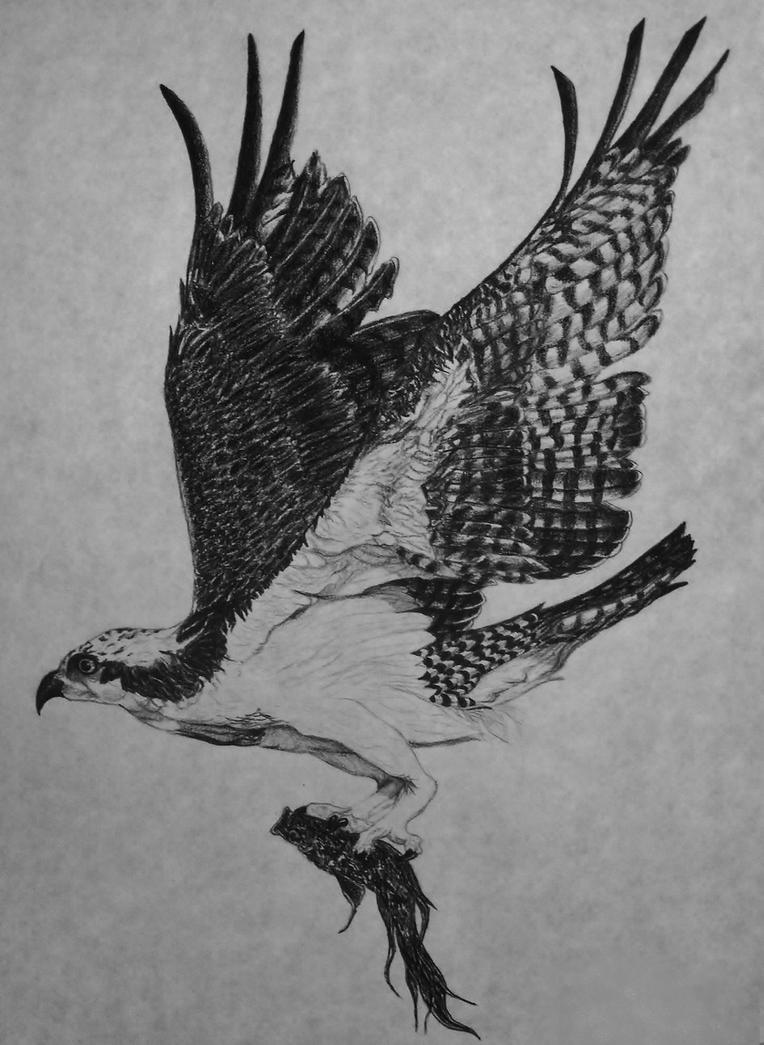 Water Hawk- Osprey by ewebster123