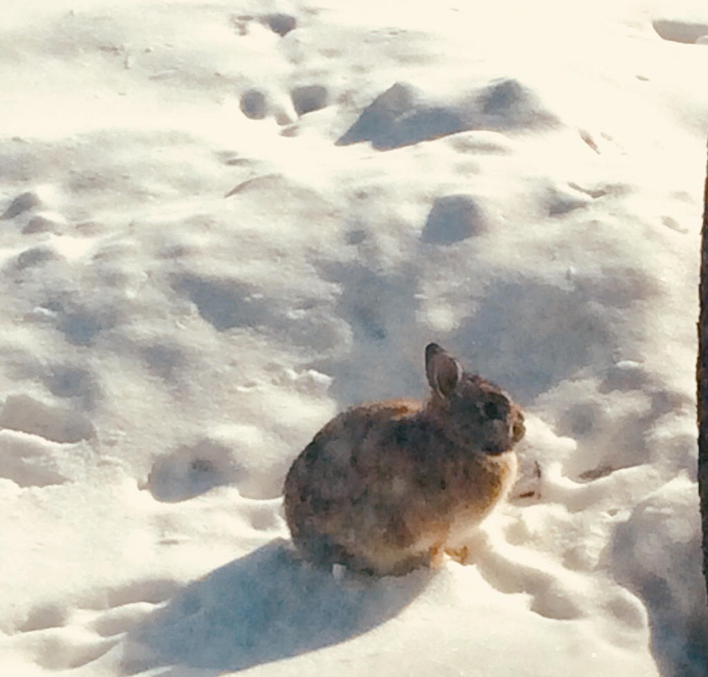 Rabbit in the Snow 2 by TheOtherBillionaire