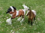 Collection Images: Gypsy Vanner and Appaloosa