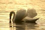 Swan In LOVE by JU-LP