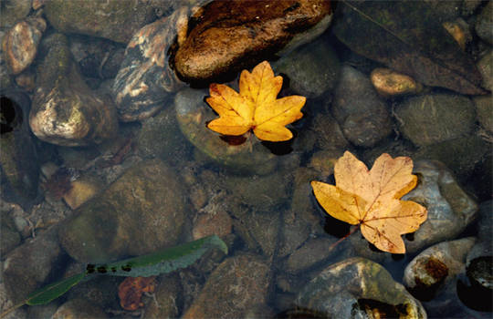 Two oak leaves on the river