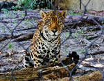 Jaguar Staring Contest