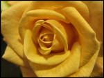 Rose by princeamie