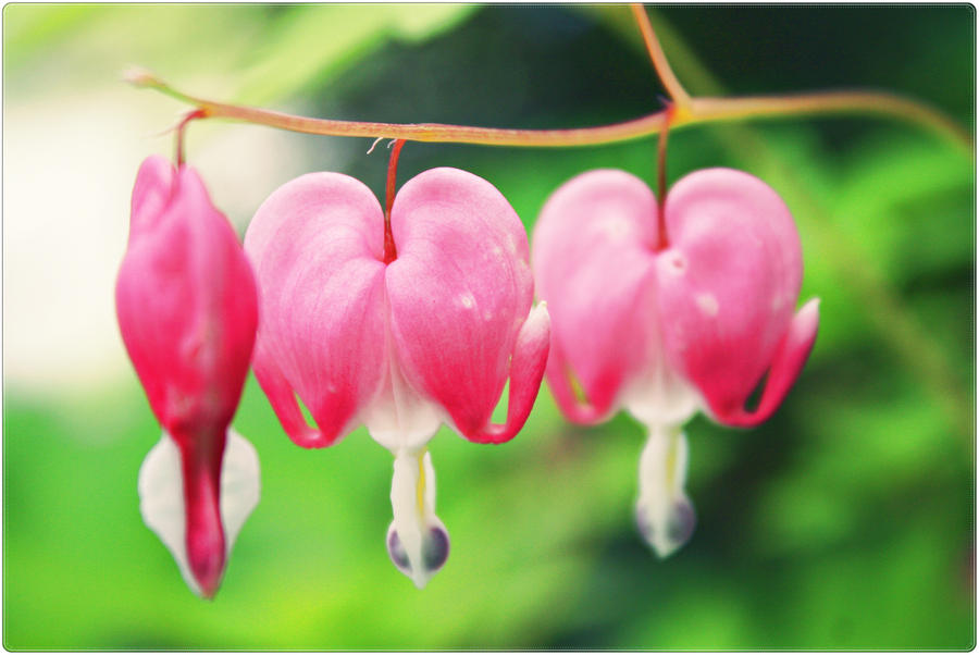 Bleeding Hearts by GlassCastle101