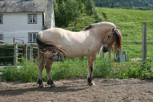 Fjord Pony 15 by Mirk-stock