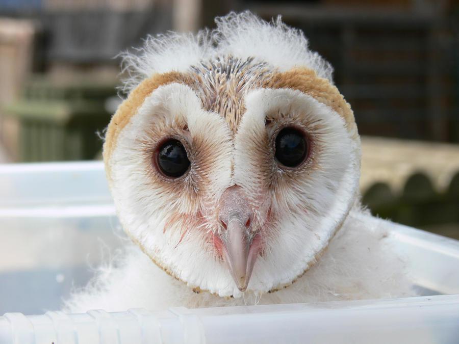 Baby Barn Owl by Akatsuki-Hazuka on DeviantArt
