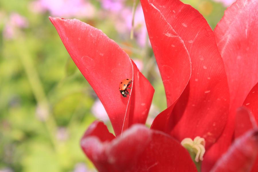 ladybug15 by RaphaelDES