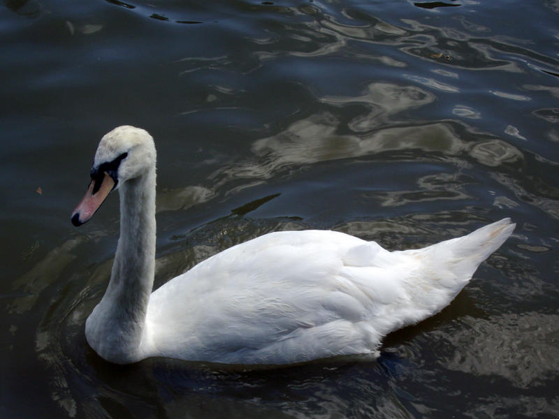 Swan 1 by 212Stock