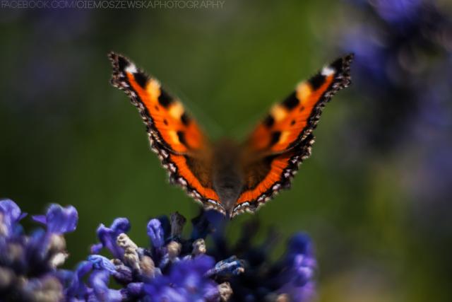 butterfly by jestembella