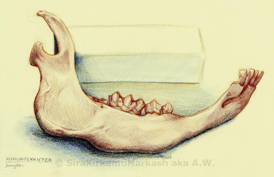 Young Cow Lower Jaw Bone By Zuschke On Deviantart
