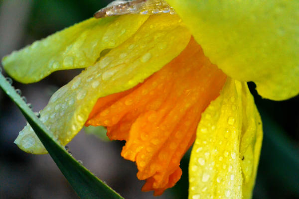Dew on Ruffles by snathaid-mhor