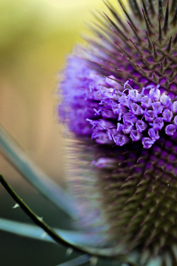 Thistle Crown by snathaid-mhor