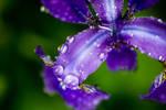 Iris Drops