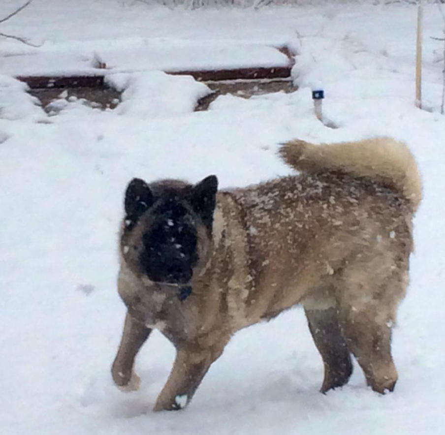 Snow Woof by spottyskunk