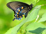 Close Butterfly by waiting4cadence