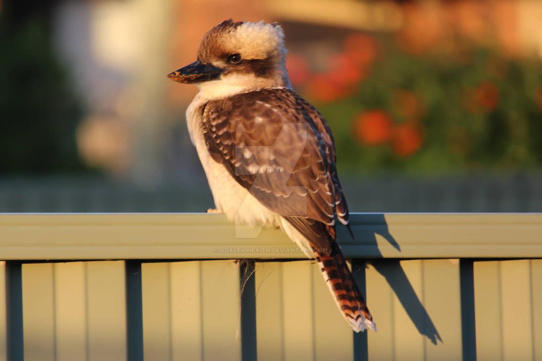 Laughing Kookaburra Perching On Fence