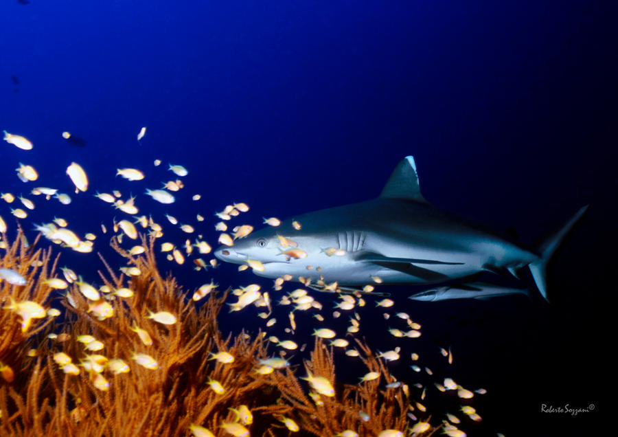 Grey Reef Shark by LazyDugong