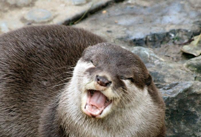 Otter smile