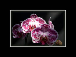 Pink Orchid by Deliciaa