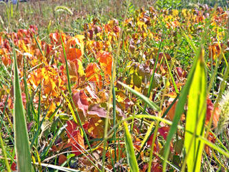 Fields of... poison ivy?