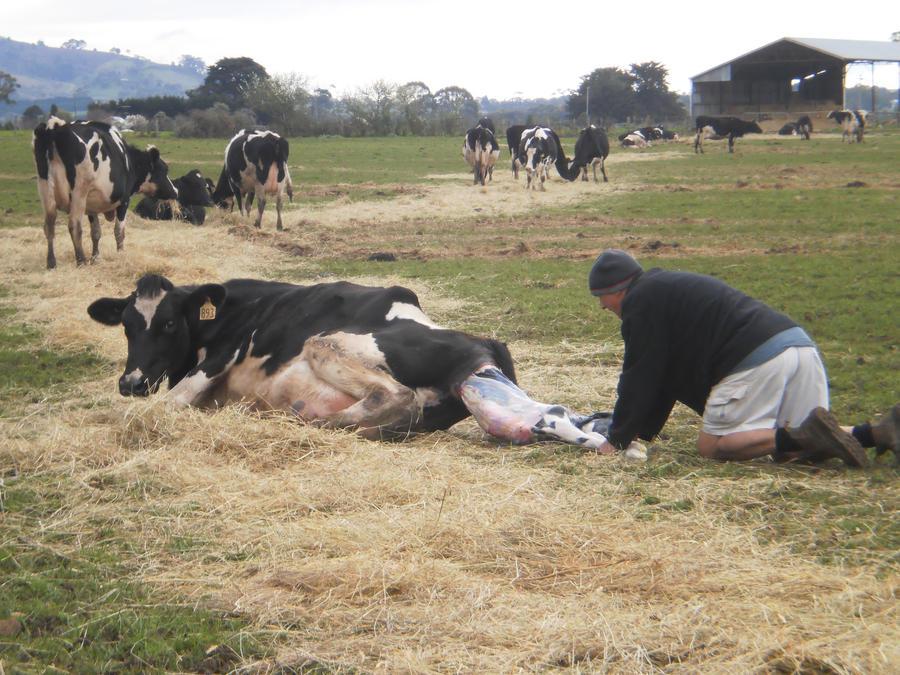 Cows giving birth - photo#7