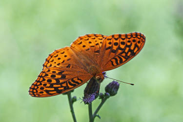 Great Spangled Fritillary by DeviantLadyAshley