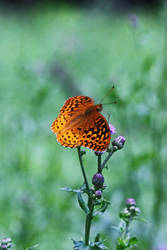 Great Spangled Fritillary2 by DeviantLadyAshley