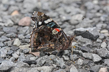 Red Admiral by DeviantLadyAshley