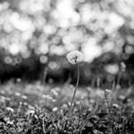 Dandelion by cameraflou