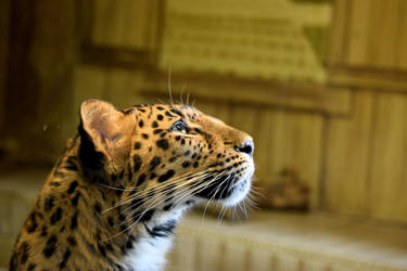 Daydreaming Leopardess