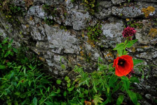 Poppy on a Wall