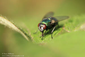 Common Green Bottle Fly by twilliamsphotography