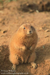 Prairie Dog Standing by twilliamsphotography