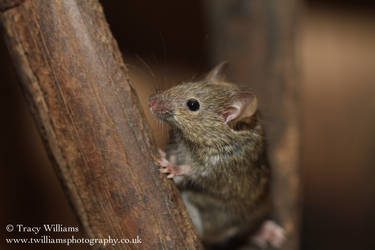 Cute House Mouse by twilliamsphotography
