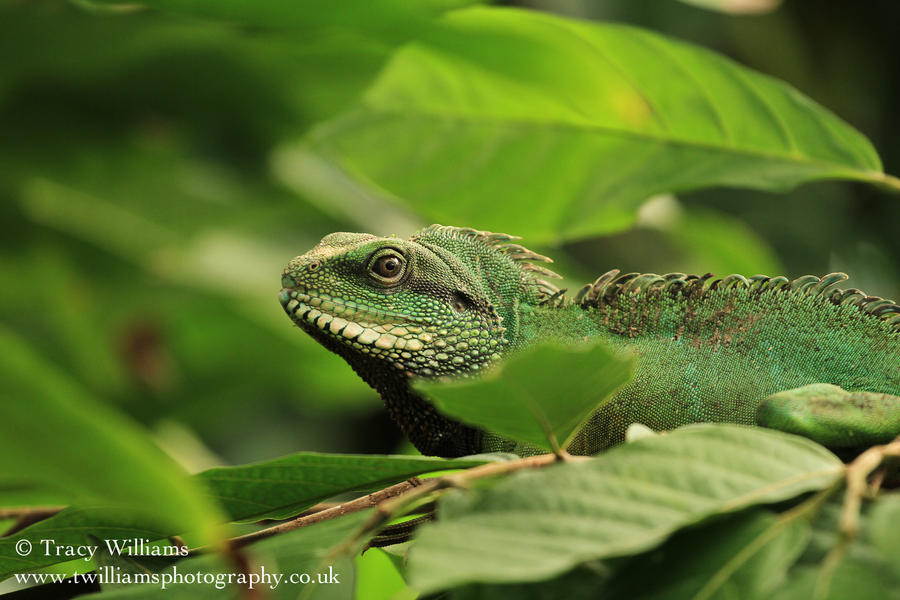 chinese water dragon by twilliamsphotography on deviantart