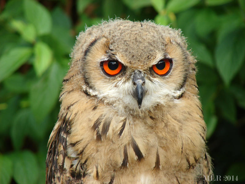 Owl by Etoia