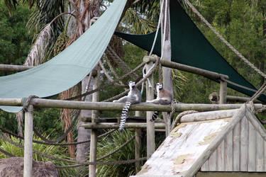 Singing Lemurs