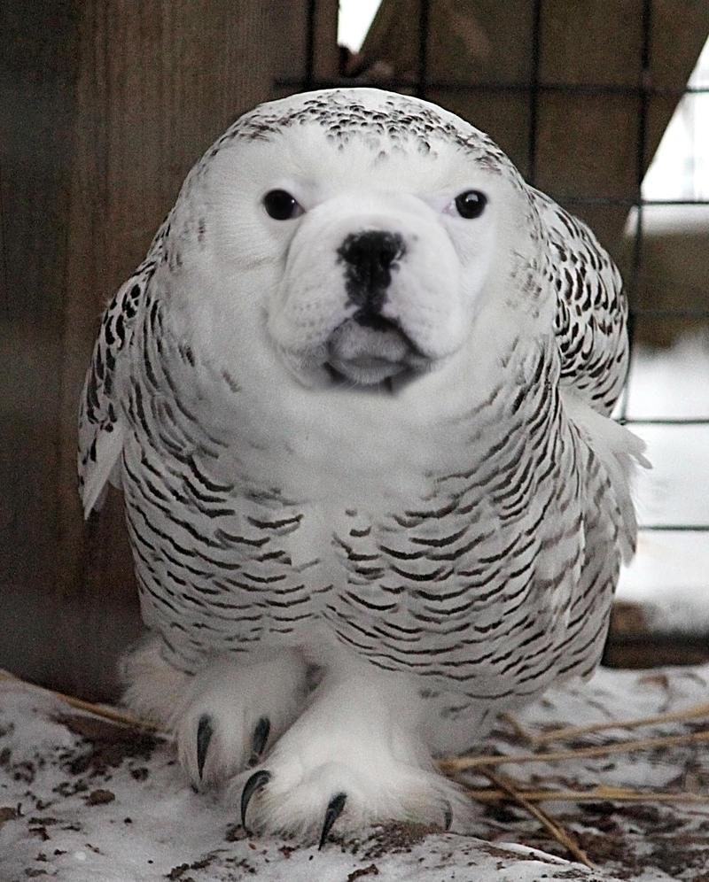 Owl Dog by megaossa