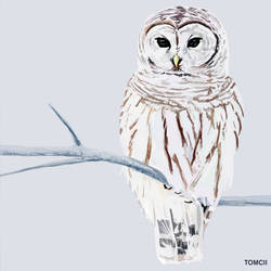Owl by Tom-Cii