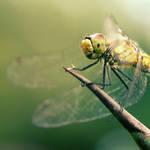 :dragonfly: by wolf-minori